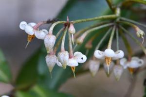 マンリョウの花