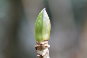 紫陽花の冬芽