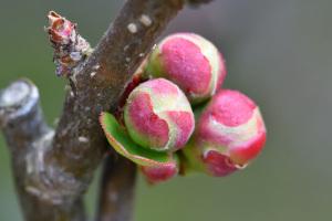 木瓜の冬芽